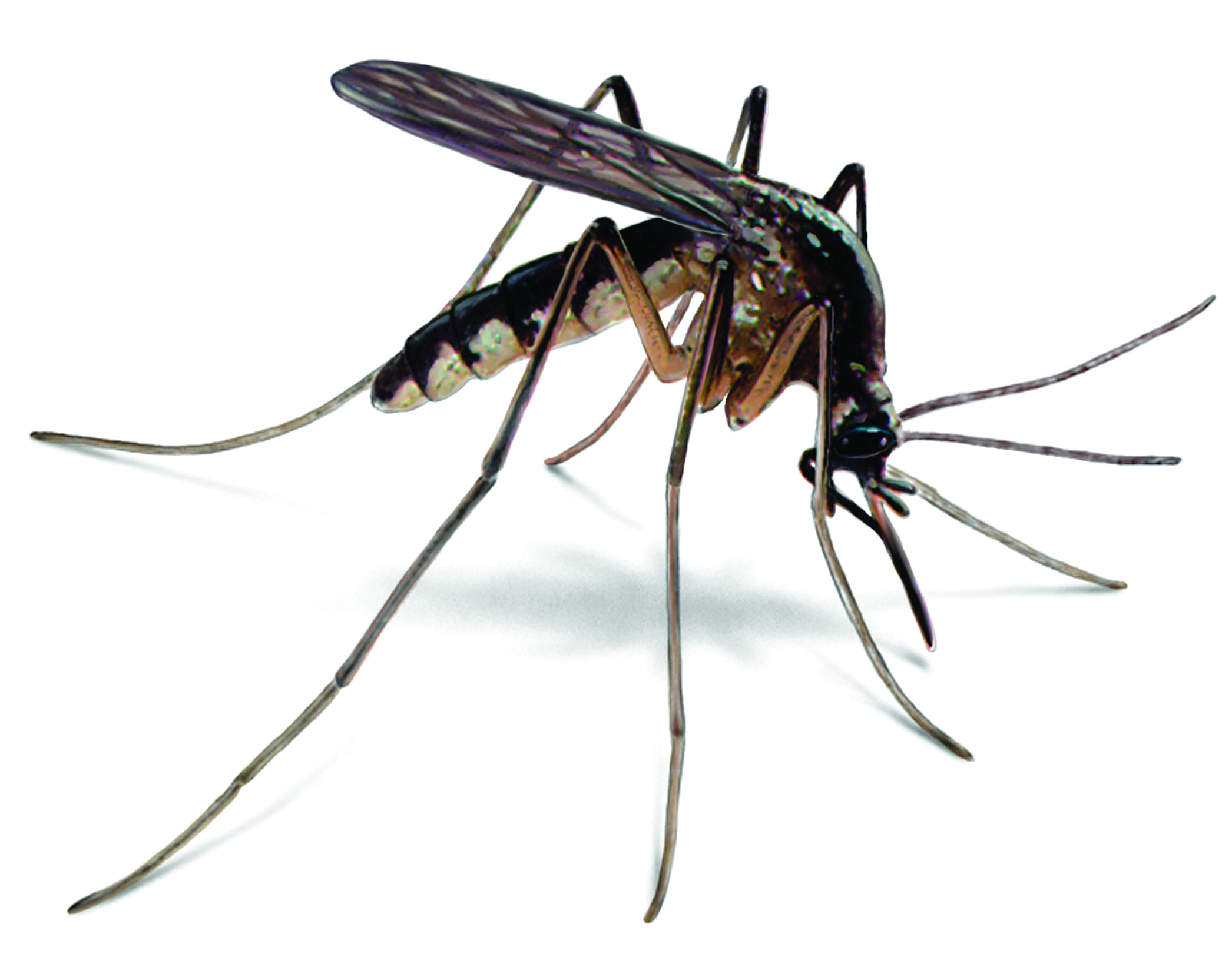 MOSQUITOES  AND MALARIA-Mosquitoes Mean Malaria! Have a Bite to Eat, Stop a Bite That Kills